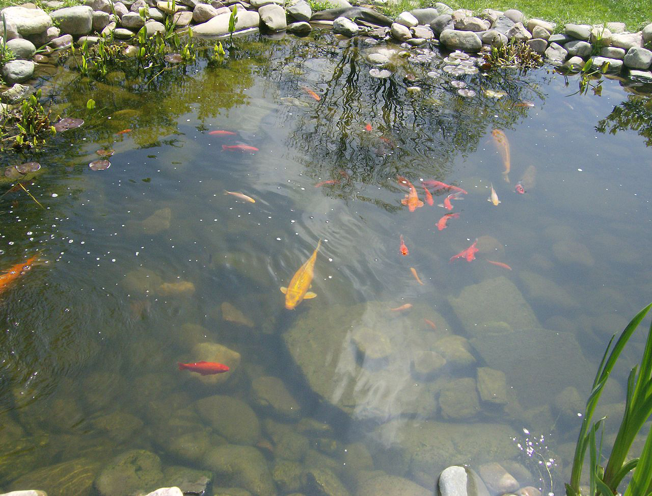 Is a pond right for your garden the skip company for Fish suitable for small pond